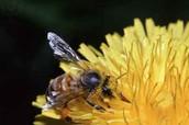 This is a honeybee gathering pollen.