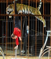 tiger at the circus