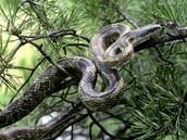 Rat snake camouflaged for forest terrain.