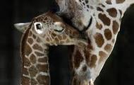mummy and baby giraffe