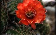 Metaphor--She was the faintest scent of a cactus flower.