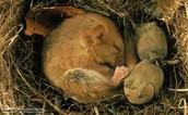 A hibernating mouse