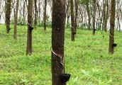 Rubber Tapping Inc.