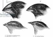 Galapagos Island finches