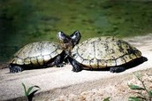 Las Tortugas