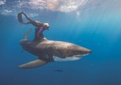 Scuba diver swims with Great White Shark