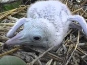 Baby Booby Bird