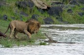 The lion vs alligator
