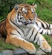 Teen tiger