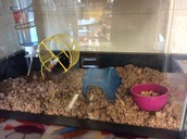 """Our Class Pets, """"Cookie"""" and """"Luna"""" have a new cage!"""