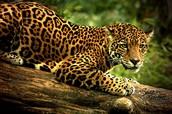 Jaguar resting on a nice tree