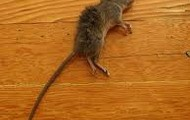 the dead mouse
