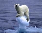 de ijsberen kunnen niet meer overleven