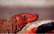 Bloody Komodo Dragon