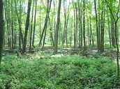 Hardwood Swamp