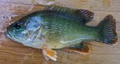 Info on the Sunfish