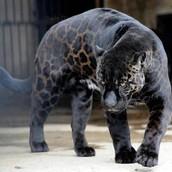 BLack Jaguar (Rare)
