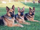 Three German Shepards
