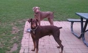 Red and Fawn Dobermans
