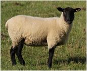 The Suffolk sheep