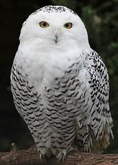 The Snowy Owl by Kathryn Glover