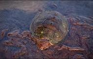 Oiled Sea Turtle
