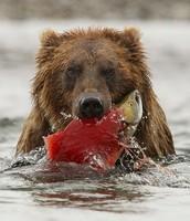 Brown Bear, Alsaska