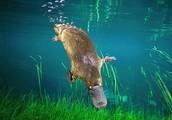 The Platypus is a native Australian mammal