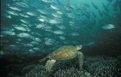 The hawksbill sea turtle looking for food