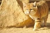 Sand cat in natural habitat