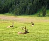 Deer at Yellowstone