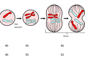 Mitosis Chromosome Numbers