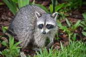 Raccoons are really cute
