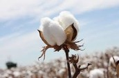 Slaves provide us with the beautiful use of cotton