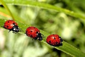 The Ladybug is the state insect.