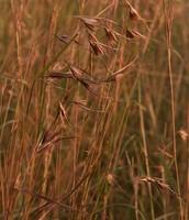 Red oat grass