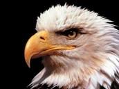 Eagle Pic 1