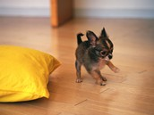 Look at this cute Chihuahua!