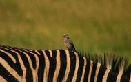 An Oxpecker and a Zebra