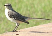 Florid's state bird
