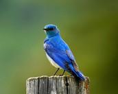 bird (parasitism)