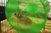 Hamster Responsibilty