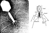Bacteriophage and drawing