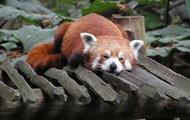 lekker slapen rode panda ?