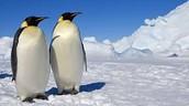 An Emperor Penguin Couple