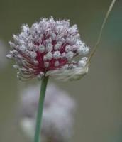 Garlic Flower Head
