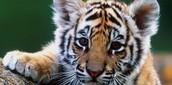 A cube tiger