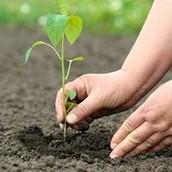 il faut que je plante les arbres.