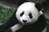 An animal famous in this country is the Panda