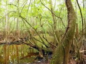 What is a Swamp Ecosystem?